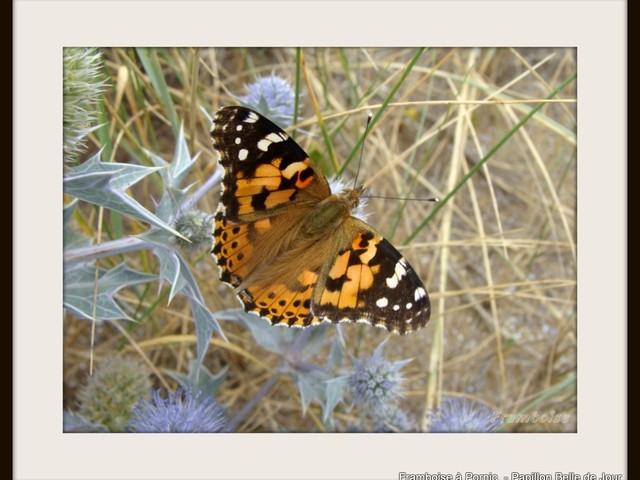 Papillon Belle dame 2018