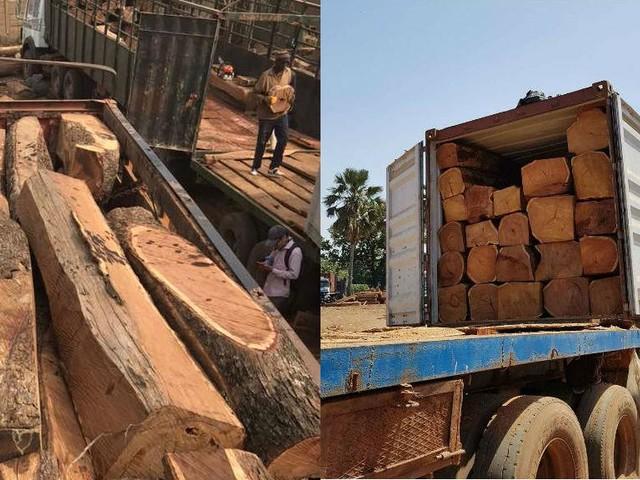 Enquête : comment le bois de vène malien est pillé et exporté vers la Chine en toute légalité