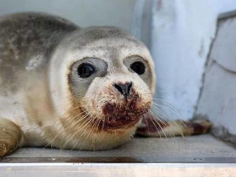 Dunkerque: Un pêcheur recherché pour avoir frappé un bébé phoque