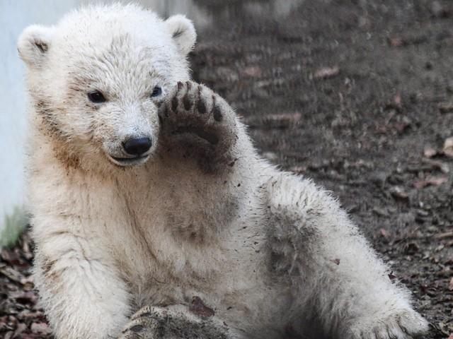 Zoo de Mulhouse: première sortie de l'oursonne polaire née en novembre