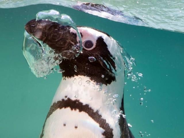 En vidéo : des manchots équipés de caméras en pleine chasse au poisson