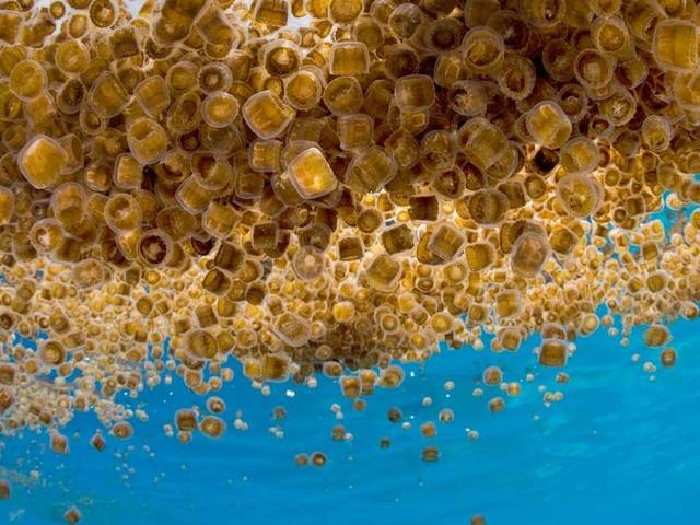 Méduses: l'océan menacé de gélification