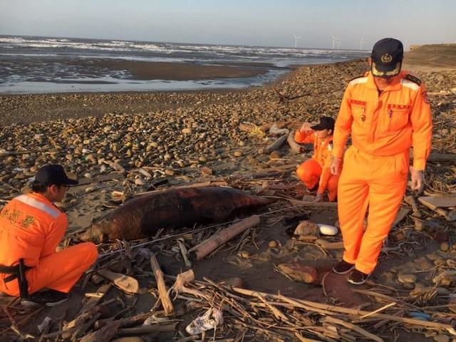 Deux dauphins échoués sur la plage des Pescadores