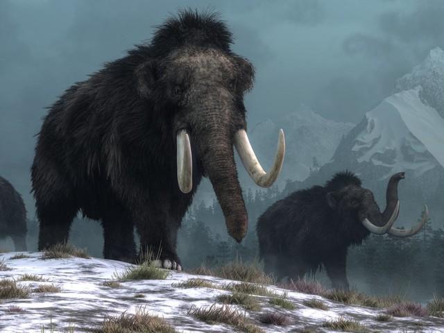 Ces nouvelles découvertes expliqueraient l'extinction des derniers mammouths laineux