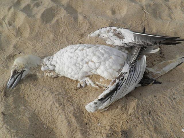 Une fois la fête terminée, les ballons causent la mort de milliers d'oiseaux