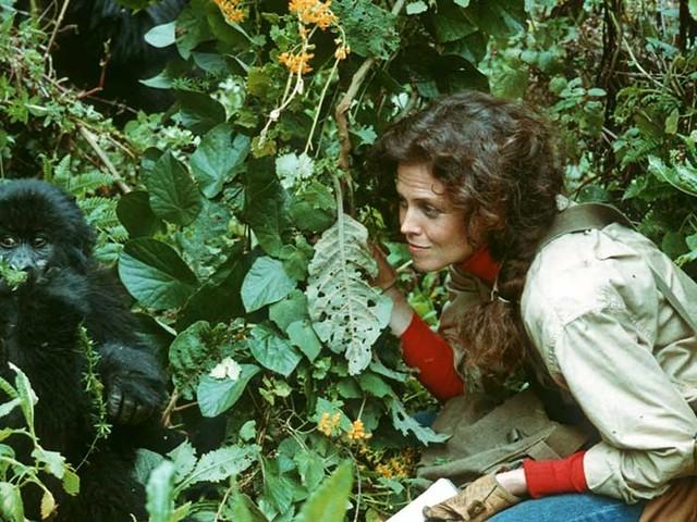 «Gorilles dans la brume» : que sont devenus les gorilles de Dian Fossey ?