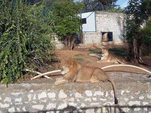 Tunisie: Evasion d'un lion du Belvédère, communiqué de la municipalité