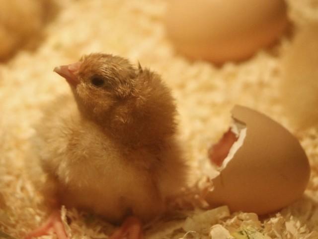"""Fin du broyage des poussins : le prix des oeufs sera """"forcément plus cher"""", prévient le Comité national pour la promotion des œufs en France"""