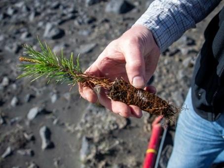 Les Vikings ont rasé les forêts, l'Islande reboise à tout-va