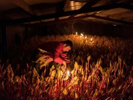 La rhubarbe forcée britannique jouit d'une renaissance culinaire