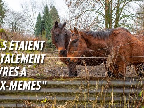 """Des chevaux maltraités saisis à Anthisnes: """"Ils n'avaient que de l'eau croupie"""" (photos)"""
