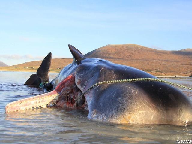Une baleine échouée avec 100 kg de déchets plastique dans le ventre