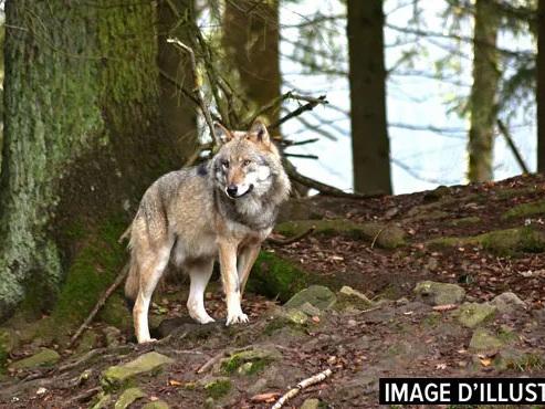 Un 3e loup erre-t-il dans la province du Limbourg? Plusieurs signalements sont jugés sérieux par une association