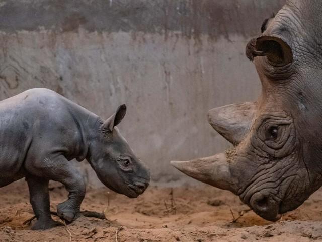 VIDEO. La naissance rare d'un rhinocéros noir au Royaume-Uni