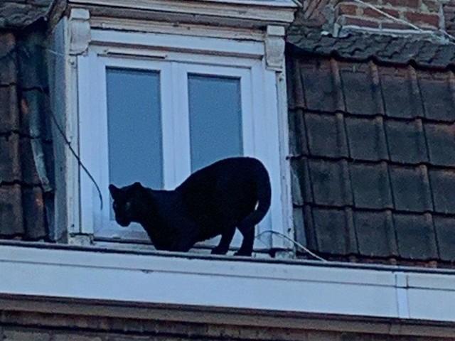 PHOTO - Une panthère noire sur les toits d'Armentières, les habitants ébahis