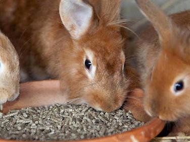 Bretagne: le tueur de lapins se terre toujours