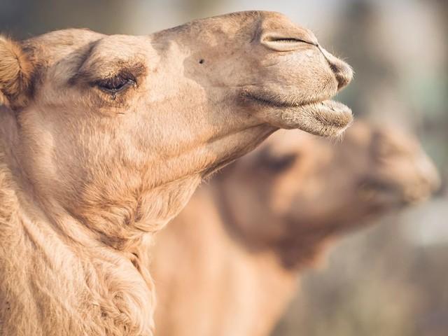 À Dubaï, des chameaux clonés pour gagner courses et concours de beauté