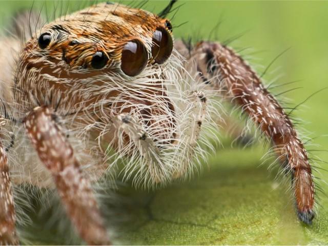 Le saviez-vous ? Il existe des araignées qui ont une partie de leur cerveau dans leurs pattes