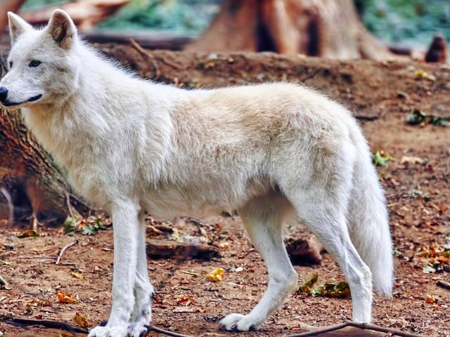 À 5 jours du Salon de l'agriculture, le gouvernement annonce qu'au moins 40 loups seront abattus en France en 2018