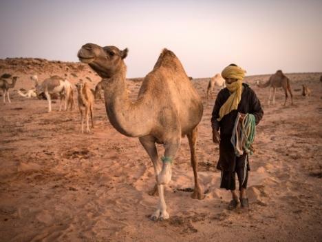 """Au Sahara occidental, un éleveur de dromadaires """"à l'ancienne"""""""