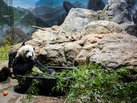 Bye bye Bei Bei: Washington fait ses adieux à son panda bien-aimé