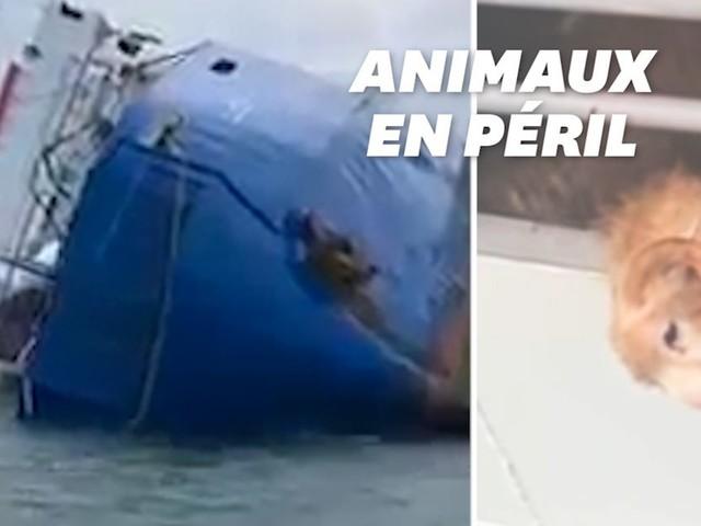 Un bateau s'échoue en mer Noire, 14.000 moutons bloqués à bord