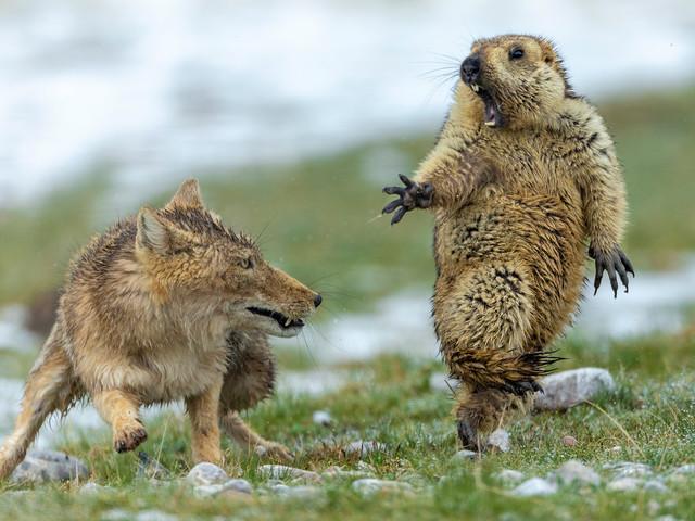 Les meilleurs clichés d'animaux sauvages de 2019: une marmotte terrifiée par un renard décroche la 1ère place (PHOTOS)