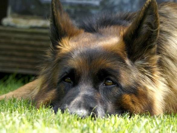 La façon dont ce chien bat la mesure de cette musique avec ses oreilles fera fondre votre cœur