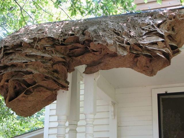 Des nids de guêpes de la taille d'une voiture aux États-Unis