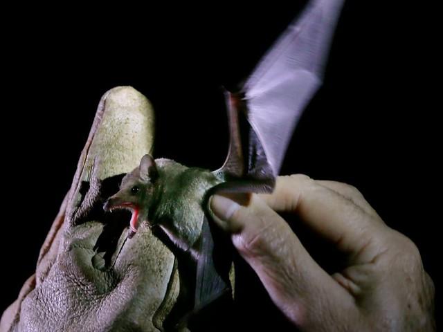 Origines du Covid: cette découverte française sur des chauves-souris change la donne