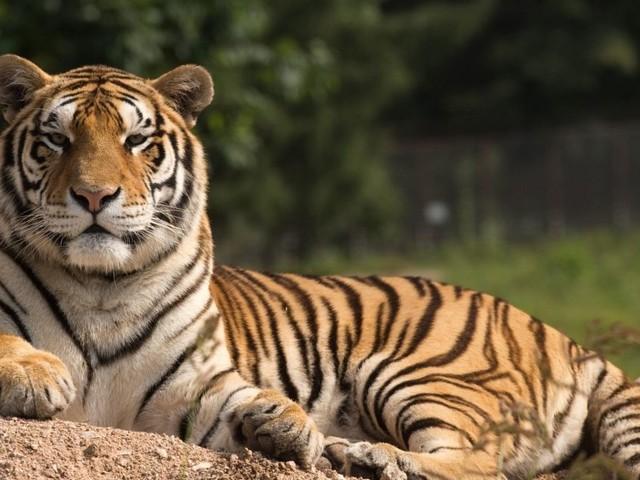Tigre abattu à Paris : le propriétaire en garde à vue, les associations s'insurgent