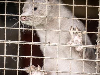 Covid-19 : première contamination d'un élevage de visons en France