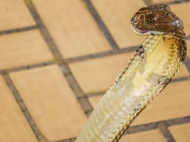 Après avoir vaincu la dengue, le paludisme et le Covid-19, il survit à une morsure de cobra: «C'est un combattant» (photo)