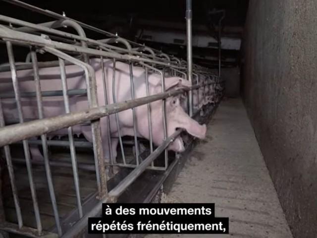 """L214 et Yann Arthus-Bertrand dénoncent """"l'enfer"""" d'un élevage de cochons du Finistère"""