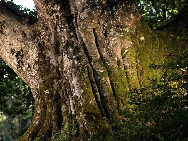 Le hêtre est de Sorèze champion : le plus bel arbre de France est dans le Tarn