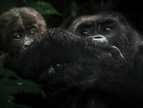 RDC: des gorilles dans les griffes d'un conflit entre Pygmées et Rangers