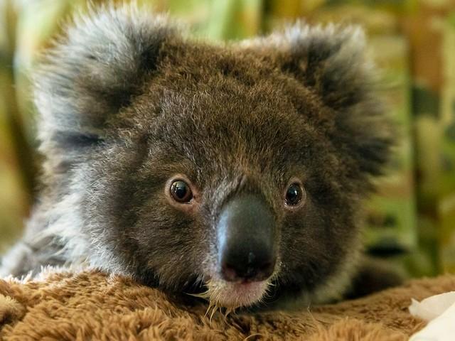 Face aux incendies en Australie, les koalas boostent les cagnottes en ligne