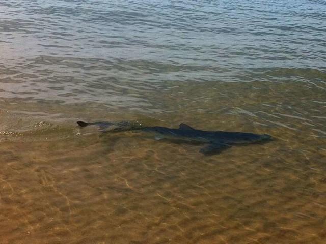 Des requins sur le bassin d'Arcachon : sa présence est fréquente sur la côte atlantique