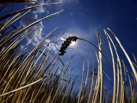 Flambée du blé et des céréales: pas de panique pour la sécurité alimentaire, selon les experts