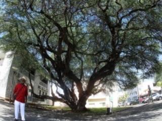 On saura ce mercredi si le pié zépinar du Port est élu arbre de l'année