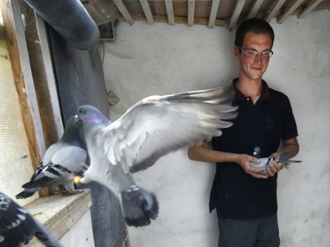 L'élevage de pigeons voyageurs, loisir populaire qui s'étiole