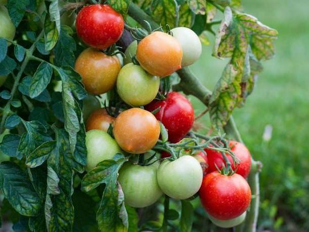 Ce que l'on sait du ToBRFV, le virus tueur de tomates