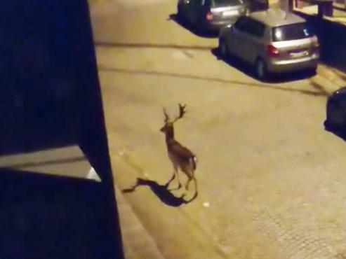 MAGIQUE: et soudain, dans les rues obscures d'Hanzinne apparait... un daim (vidéo)