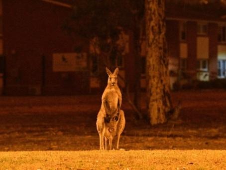 Australie: les incendies déciment koalas et autres espèces sauvages uniques
