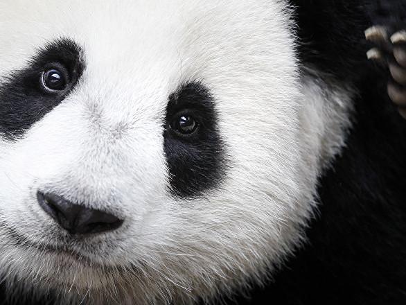 Comment bien profiter de l'hiver? Ce panda du zoo de Moscou pourra certainement vous le dire!