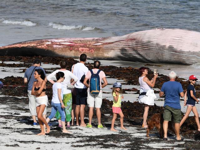 Les tristes images d'une baleine de 13 mètres échouée sur une plage du Finistère