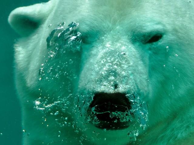 Que mange les ours polaires ?