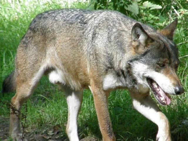 France: le nouveau plan loup ne plaît ni aux anti-loups, ni à ses défenseurs