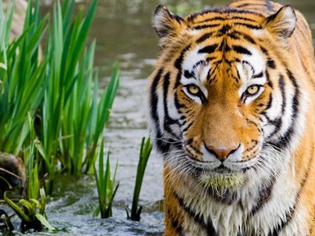 Le nombre de tigres du Bengale augmente pour la première fois depuis 15 ans