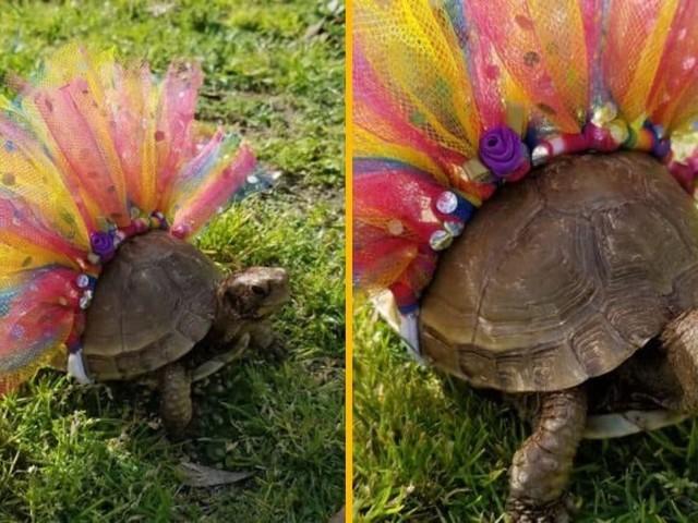 [TOPITRUC] Un tutu arc-en-ciel pour tortue, la plus belle des danseuses